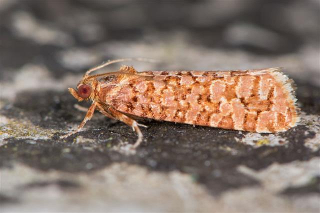 Lozotaeniodes Formosana Micro Moth