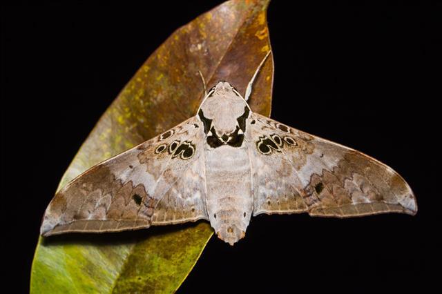 Ambulyx Canescens Hawk Moth