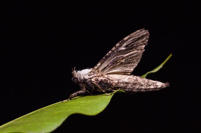 Xyleutes Moth