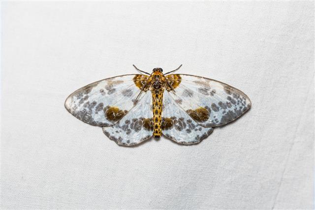 Abraxas Lugubris Moth On White Screen