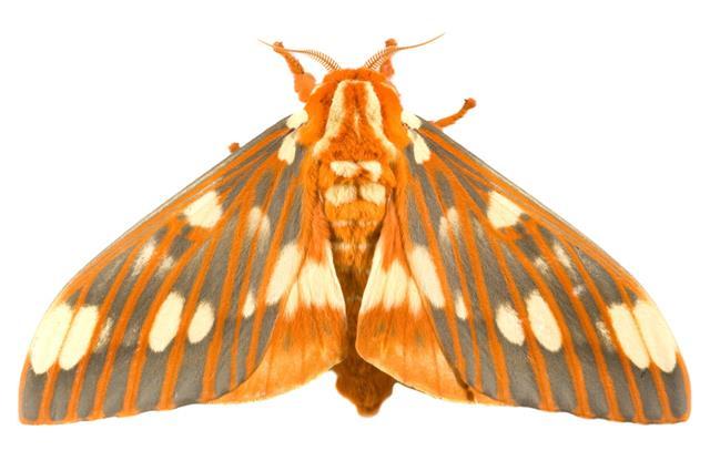 Regal Moth Citheronia Regalis