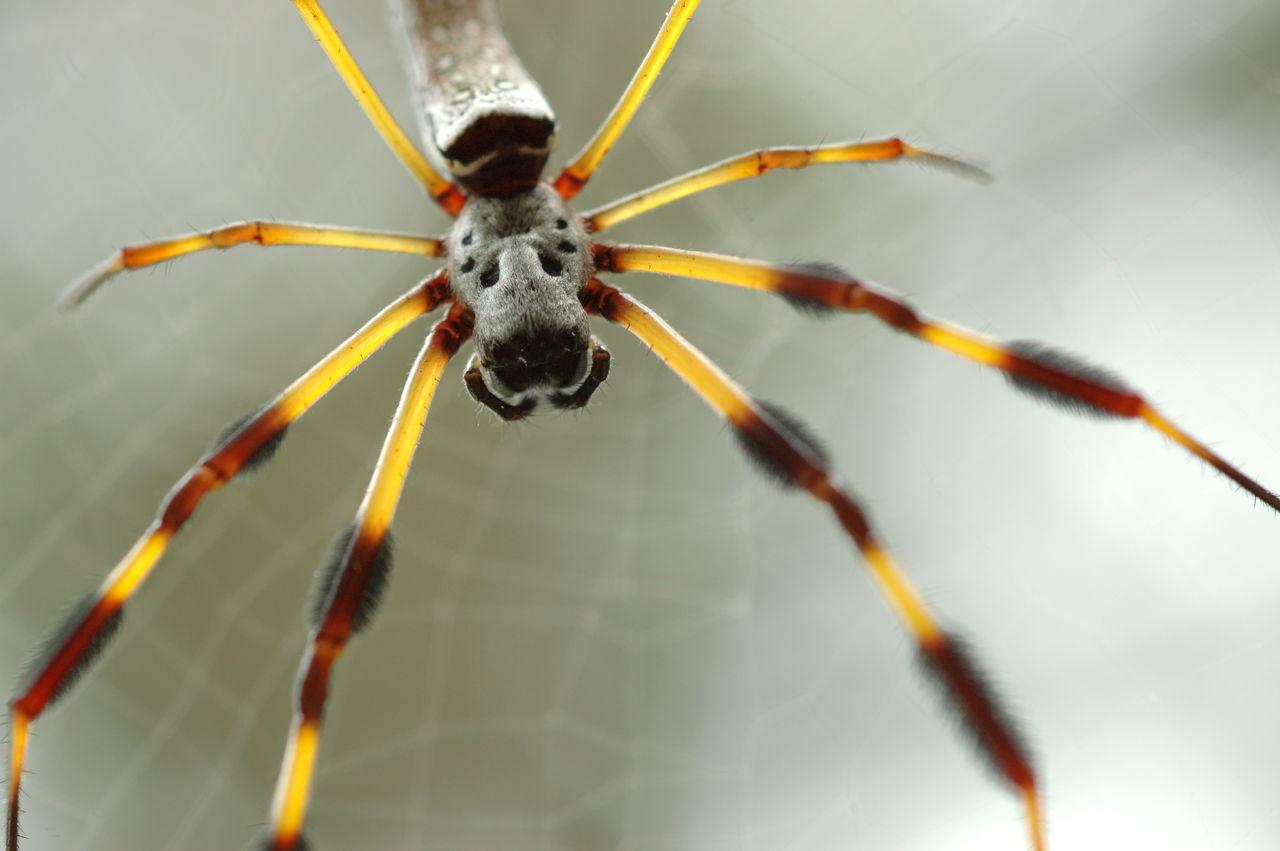 Banana Spiders - Animal Sake