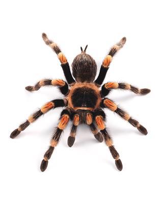 Mexican Redknee Tarantula Spider