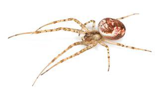 Metellina Spider