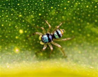 Blue Jumping Spider
