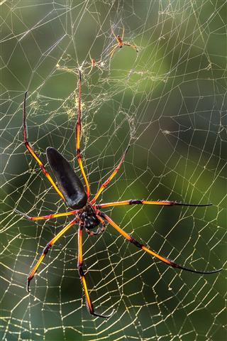 Seychelles Endemic Spider