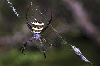Argiope Amoena Spider