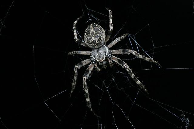 Huge Spider In Web