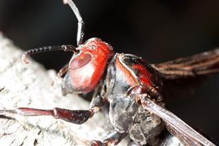 Hornet Wasp