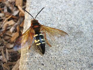 Killer Wasp