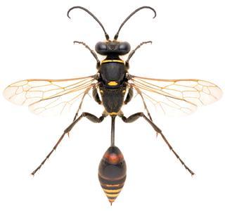 Wasp Sceliphron Curvatum