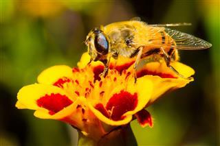 Fluffy Hornet At Yellow Flower