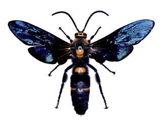 Wasp Specimen