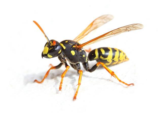 Yellow Jacket Bee