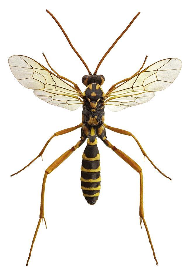 Polistes Wasps