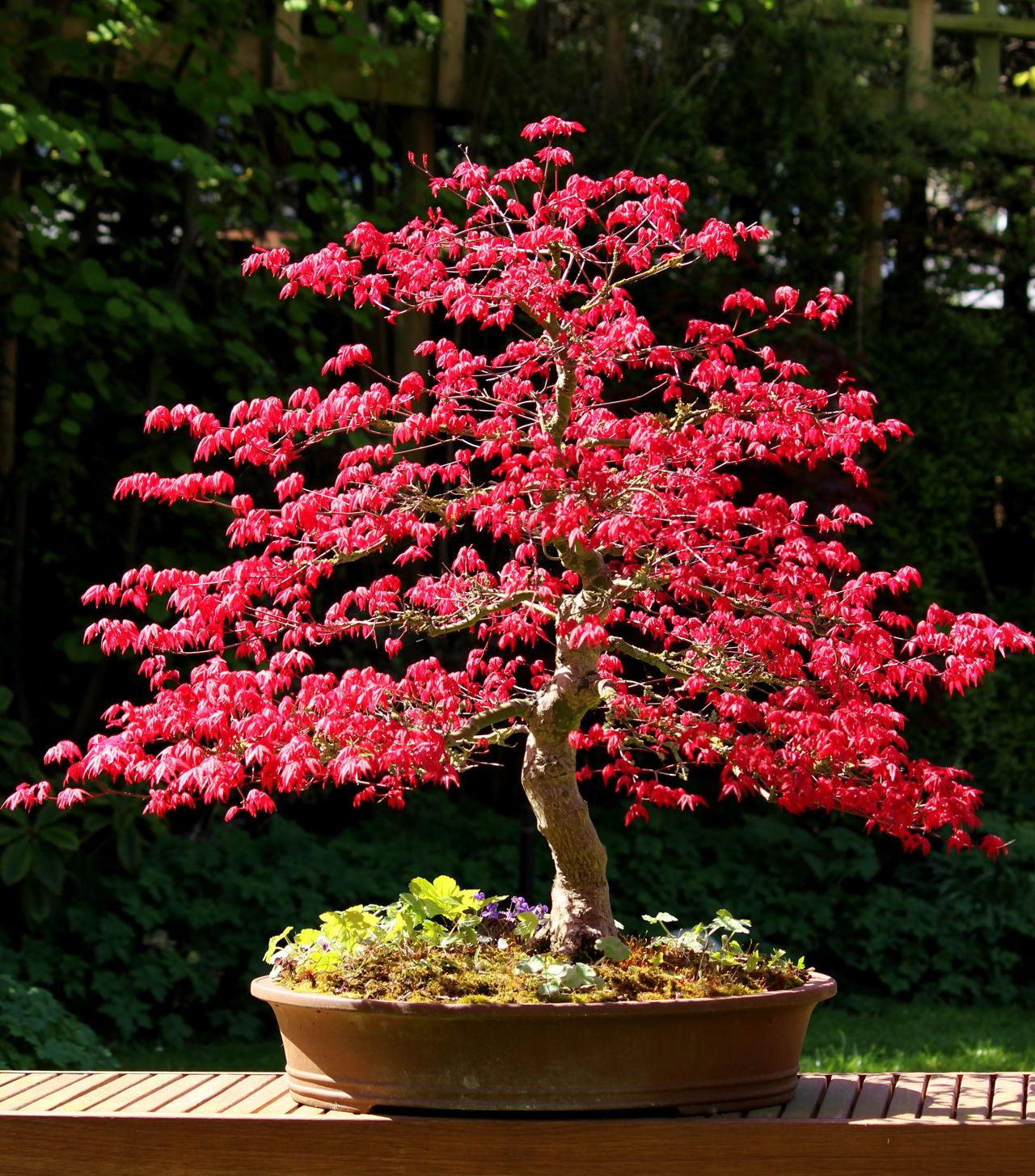 Japanese Garden Maple Tree Photograph by Greg Vaughn |Beautiful Japanese Trees