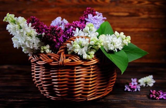 Colorful Lilacs