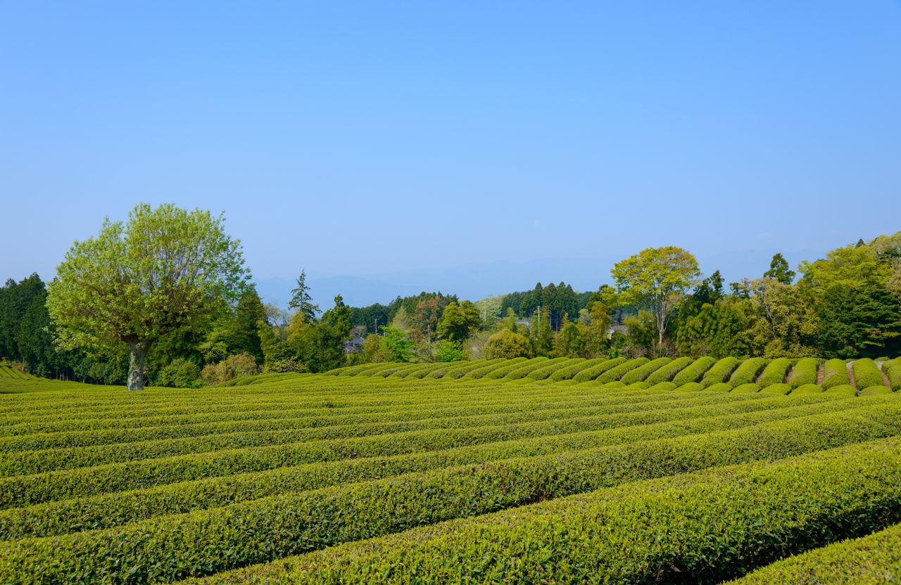 Side Effects of Drinking Green Tea