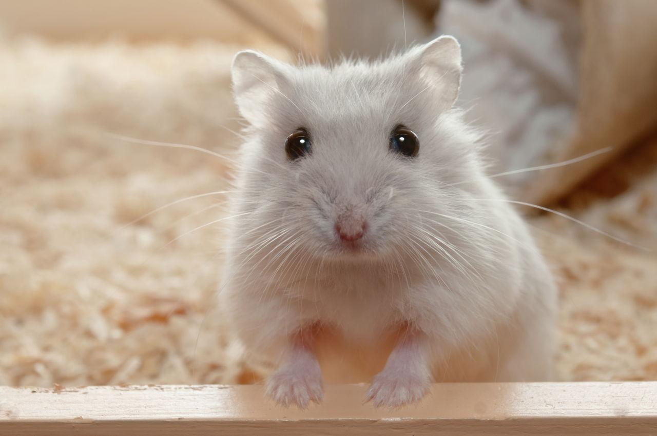 Male Hamster Names