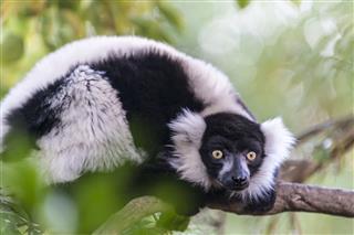 verreauxs sifaka lemur
