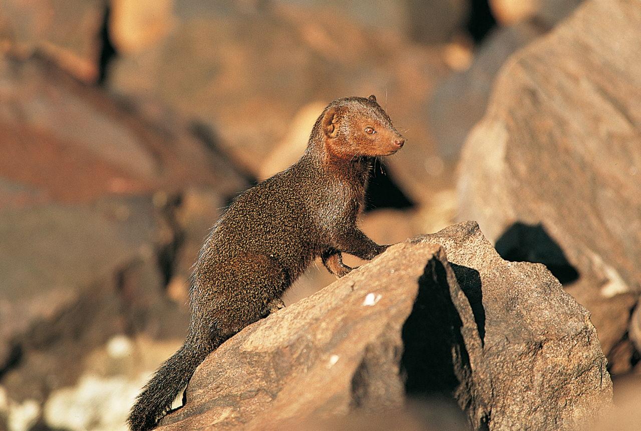 Mongoose as a Pet