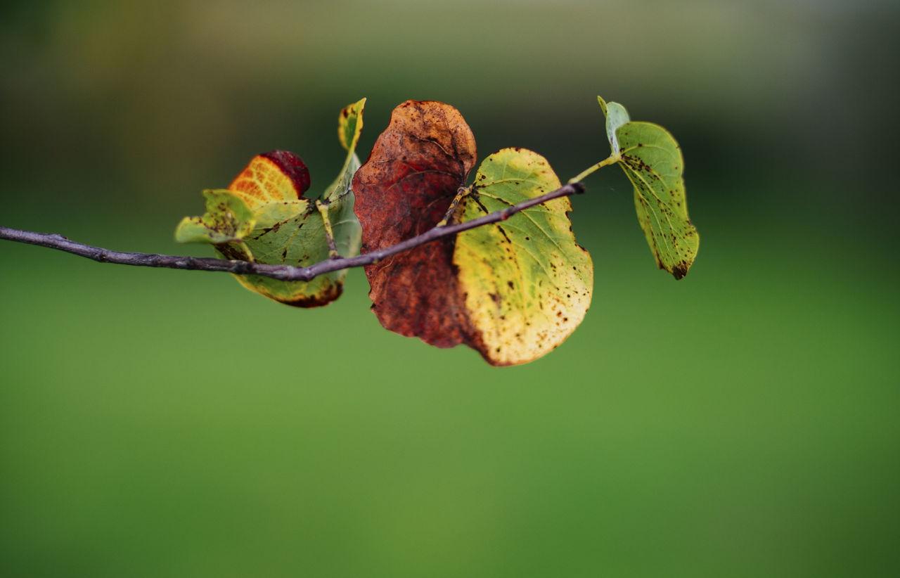 Flowering Pear Tree Diseases
