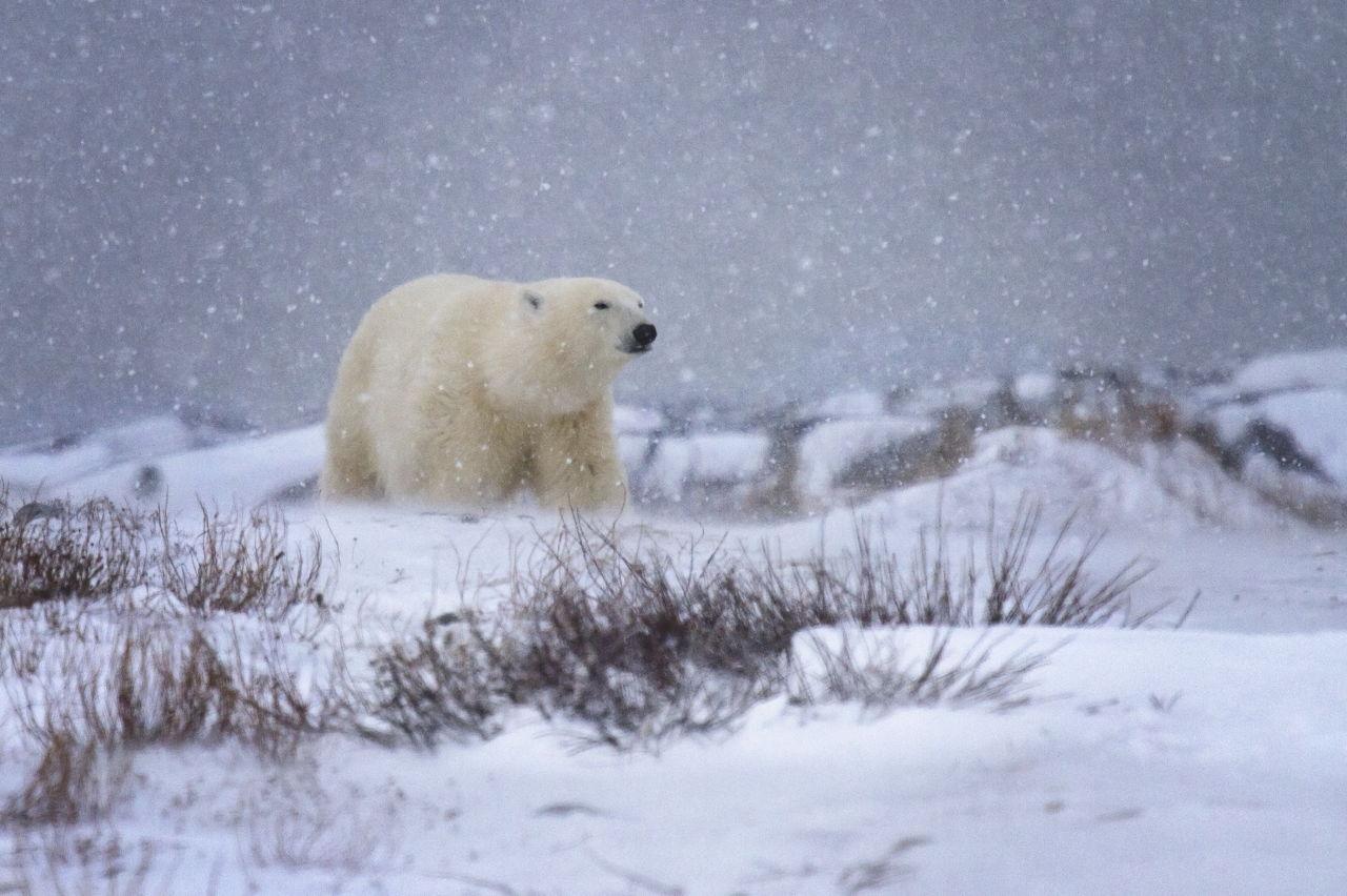 tundra animals - HD1280×852