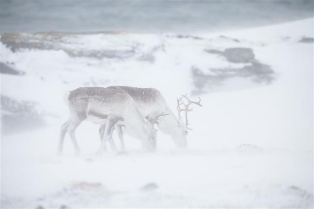 Grazing Reindeer In The Snowstorm