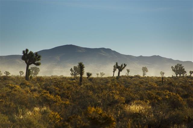 Joshua Trees In A Sandstorm