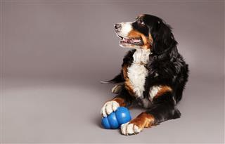 Bernard Sennenhunde With Chew Toy