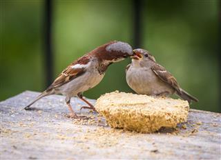 Sparrow Feeding A Fledgling Bird