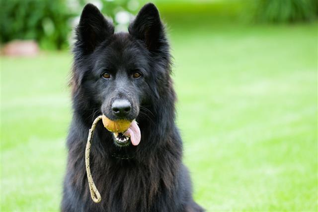 German Shepherd Dog With Ball