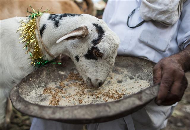 Goat At Market
