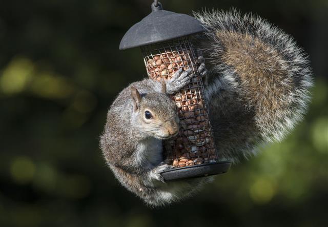 Grey Squirrel Hugging Birds Peanuts