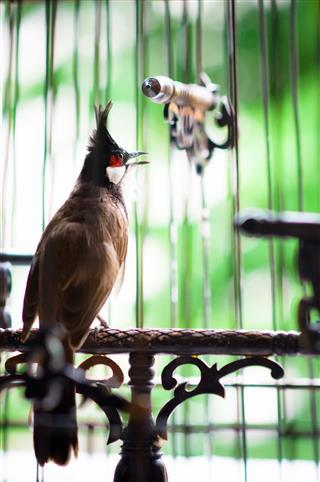 Pycnonotus Jocosus Bird