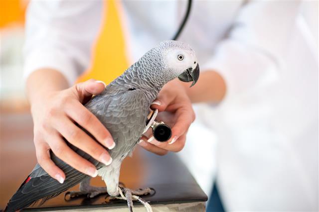 Examination Of Sick Parrot