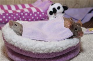 Pets Mice