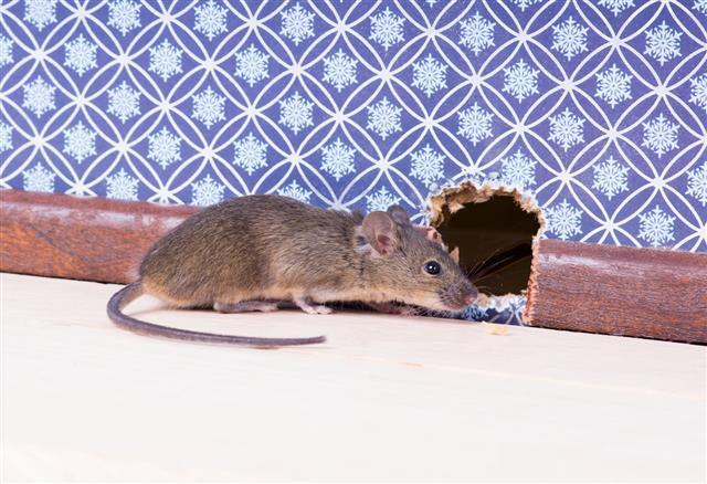 Mouse Nose Pokes Through A Hole