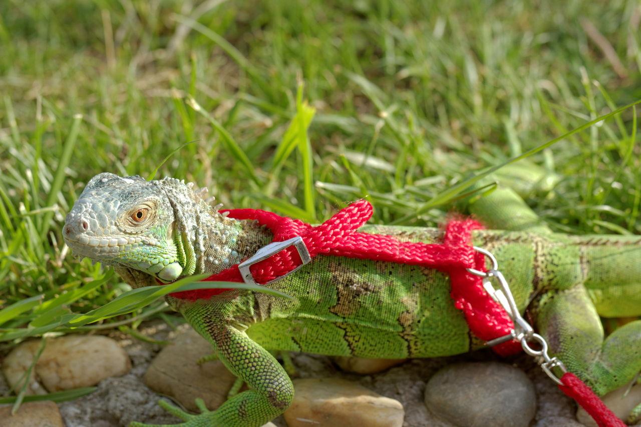 Iguana - Diet?
