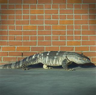 Monitor Lizard Walking Beside Brick Wall