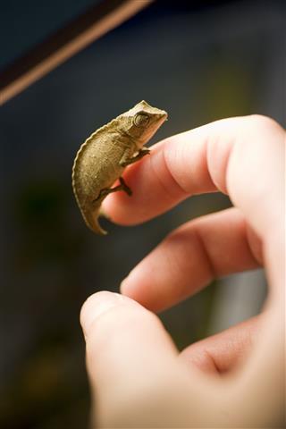Holding A Chameleon