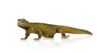 Dabb Lizard Uromastyx Aegyptia