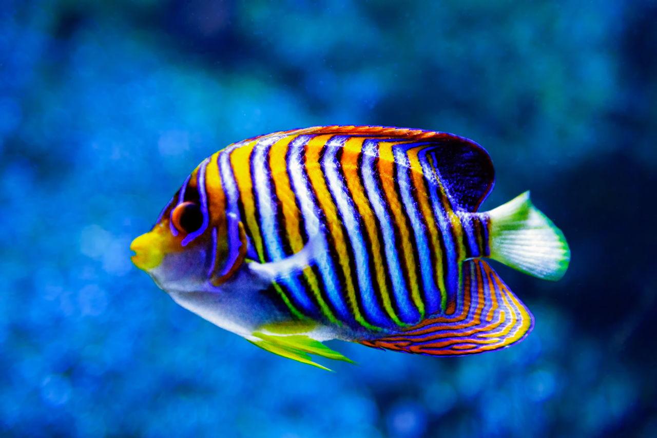 Habitat of freshwater angelfish exploring where the for Freshwater angel fish