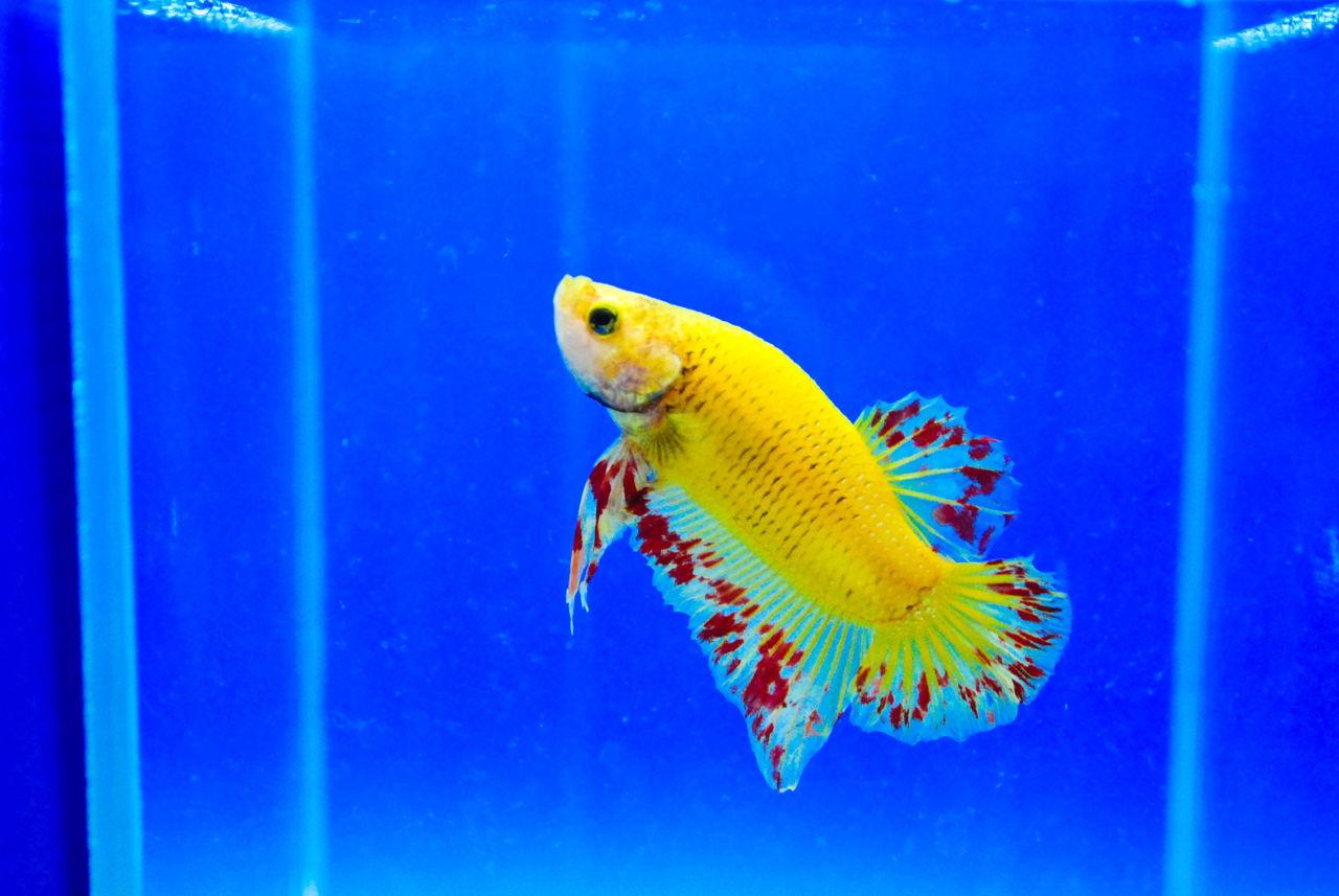 Oscar Fish Diseases as well Showthread also 259315 Oakley Pitbull Sunglasses Gunmetal W Fire Iridium Lenses NWOT as well Oscar Fish Diseases additionally Non Aggressive Freshwater Fish. on oscar cichlid diseases