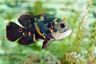 Aquarium Cichlid Fish