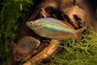 Aquarium Melanotaenia Praecox