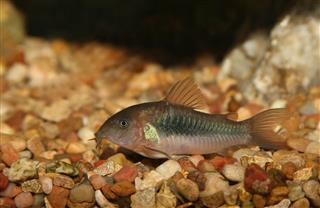Green Corydora Fish