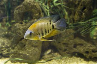 Fish Cichlidae Of Lake Malawi