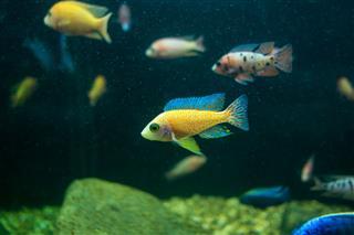 Cyphotilapia Frontosa Fish