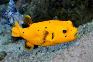 Dog Faced Puffer Fish
